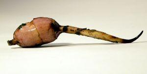 Arrowhead tuber