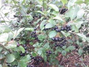 Black Chokeberry