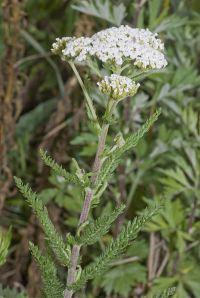Achillea millefolium - image from Wikipedia