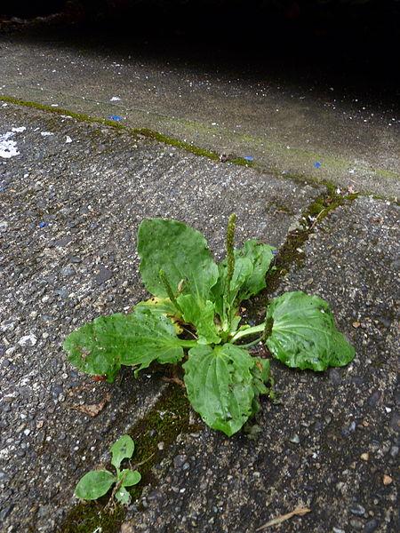 Plantago major growing in the cracks of a sidewalk.